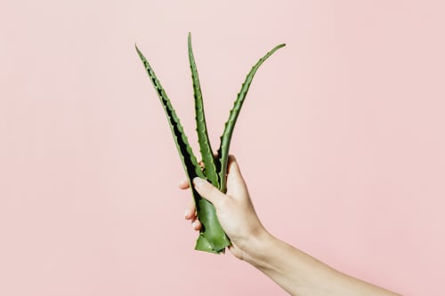 The Benefits Of Using Aloe Vera For Skin Care & More