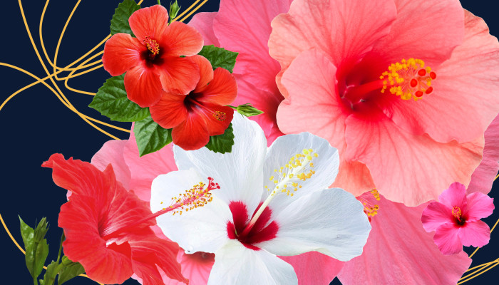Hibiscus As Skin Care? This Tea Is So Much More Than A Tasty Drink