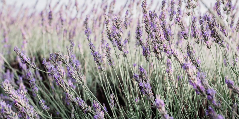 8 Benefits Of Lavender How To Safely Use Lavender Oil