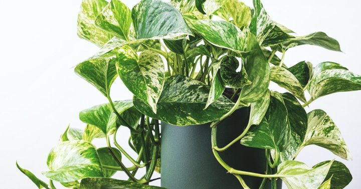 4 Reasons Your Pothos Leaves Are Turning Yellow & What To Do