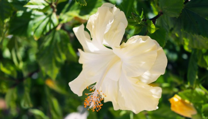 Hibiscus Flower: Growing, Colors, Care