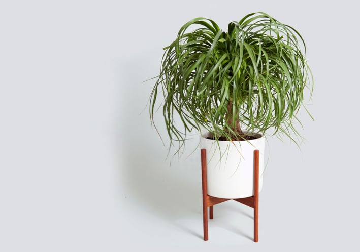 The giant houseplant your life is missing and how to keep for Ponytail palm cats