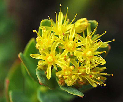 4 Ways Rhodiola Could Change Your Life mindbodygreen