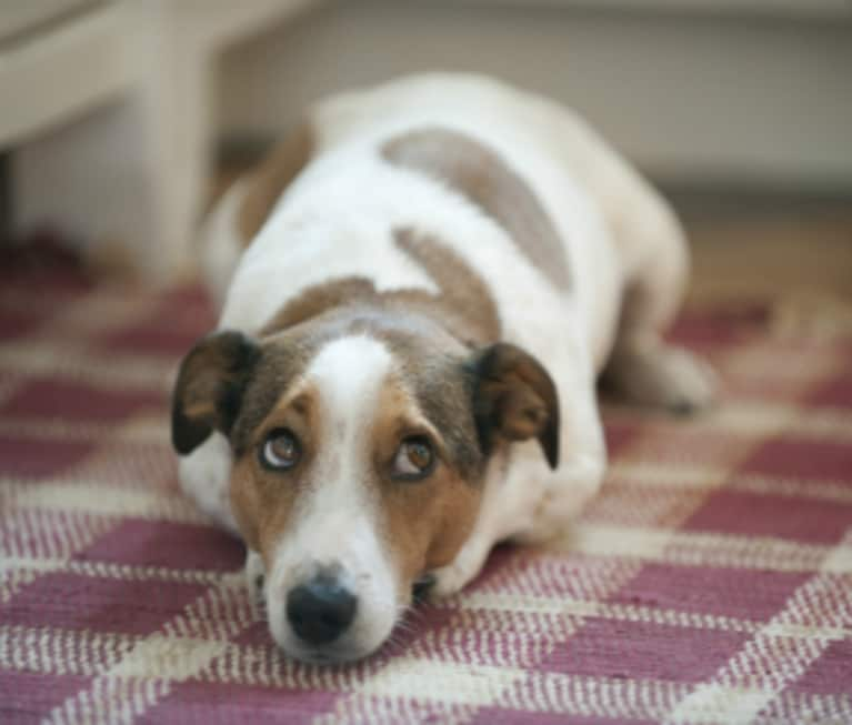 Dog Ate Some Rug: 5 Ways To Release Your Guilty Conscience