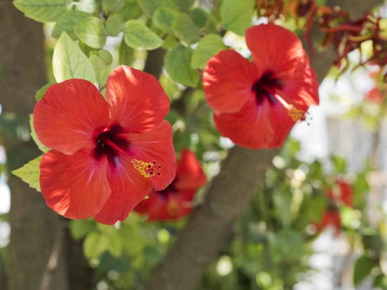 Hibiscus Flower Growing Colors Care