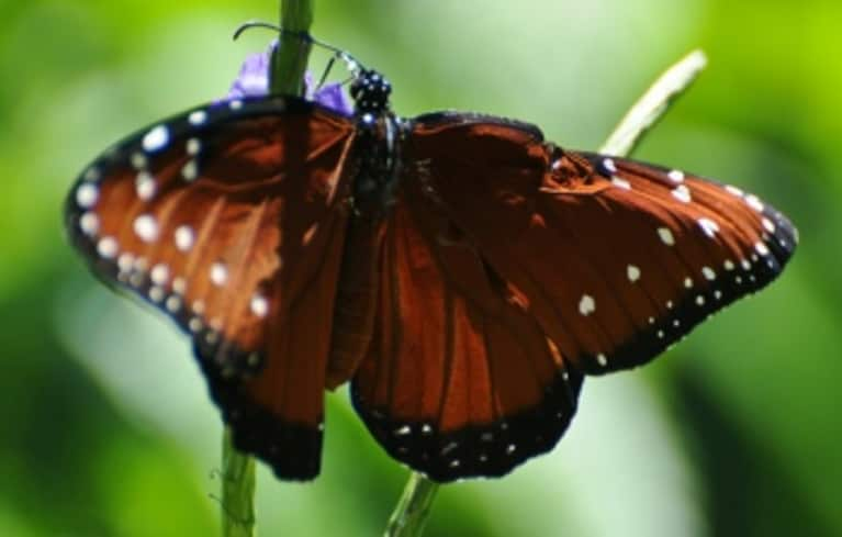 Maya Angelou The Beauty Of The Butterfly