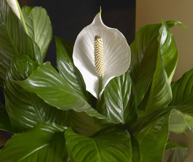 how to get my peace lily to bloom