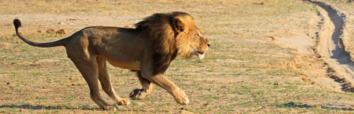 Internet Speaks Out For Cecil, The Lion Killed By An American Hunter Hero Image