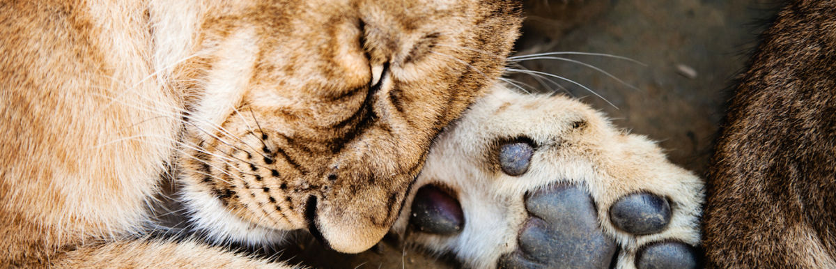 5 Of The Most Powerful Statements On Cecil The Lion, As Told By Conservationists Hero Image