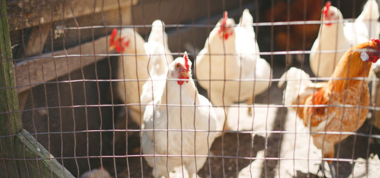 California Starts Requiring Bigger Cages For Egg-Laying Hens Hero Image
