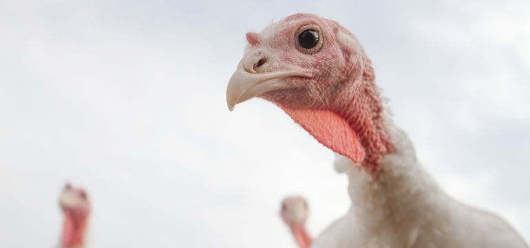 Here's Why Organic Turkeys Are So Darn Expensive Hero Image
