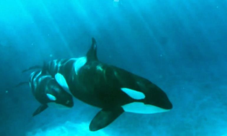 """SeaWorld Killer Whale Is """"Too Depressed"""" To Nurse Her Baby At San Diego Amusement Park Hero Image"""