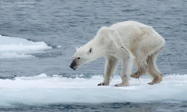 This Horribly Thin Polar Bear May Show The Dangers Of Climate Change Hero Image