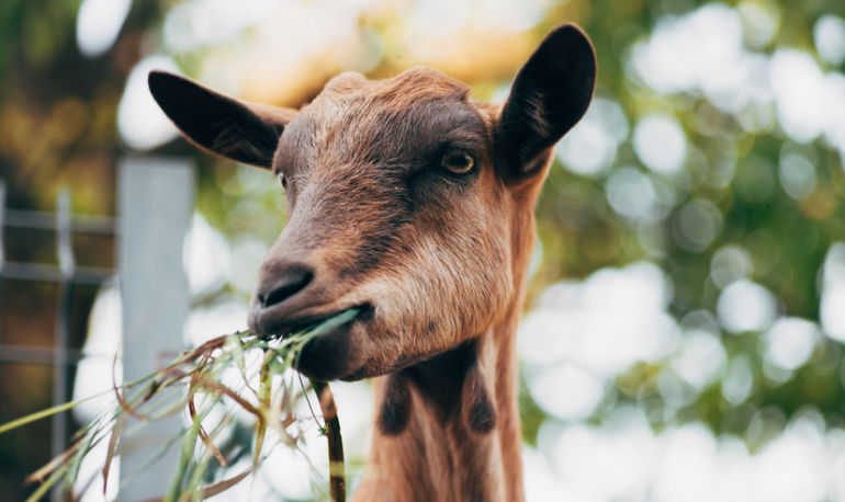 3 Reasons Goats Are Having A Moment In Wellness (It Has Nothing To Do With Goat Milk) Hero Image