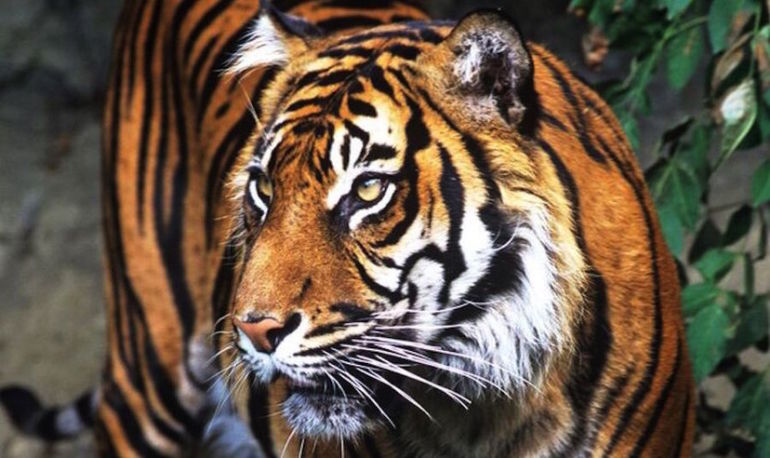 The World Tiger Population Is On The Rise For The First Time In 100 Years Hero Image