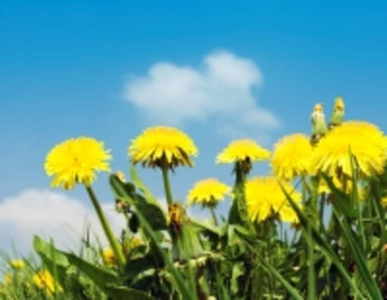 Why Dandelions Are the New Kale
