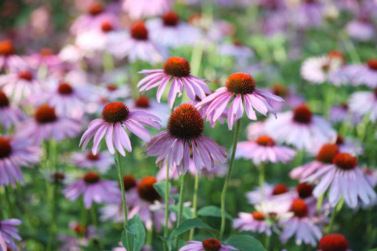 Echinacea Is An Inexpensive Herb That Helps With Anxiety & Candida. So Why Aren't More People Taking It?