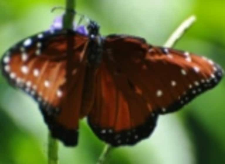 Maya Angelou: The Beauty of the Butterfly