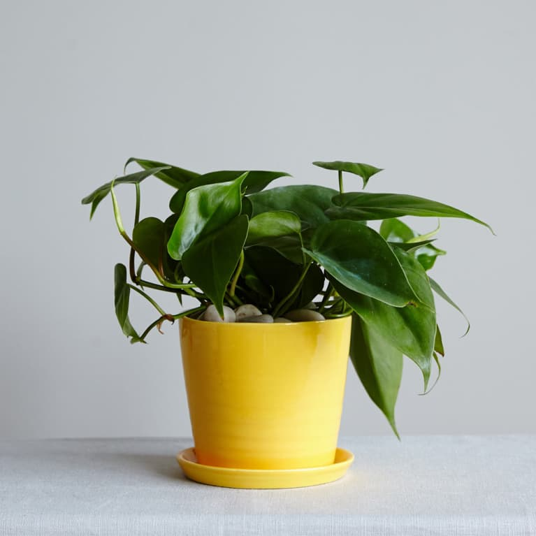 Philodendron plant in yellow planter