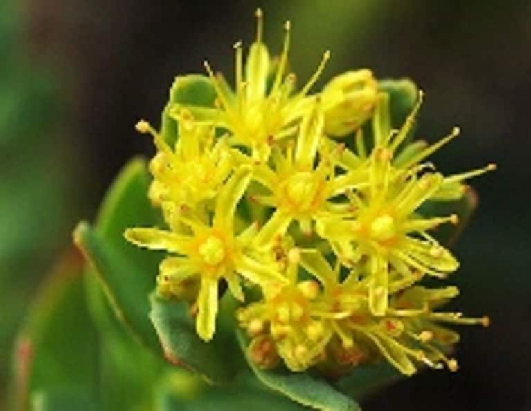 4 Ways Rhodiola Could Change Your Life
