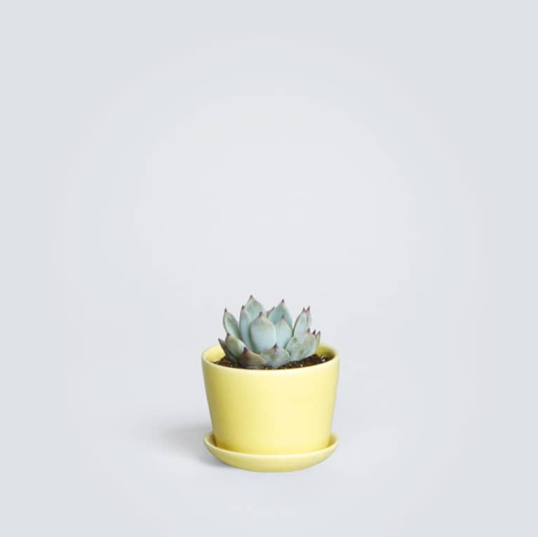 Photo of Blue Echeveria in yellow pot