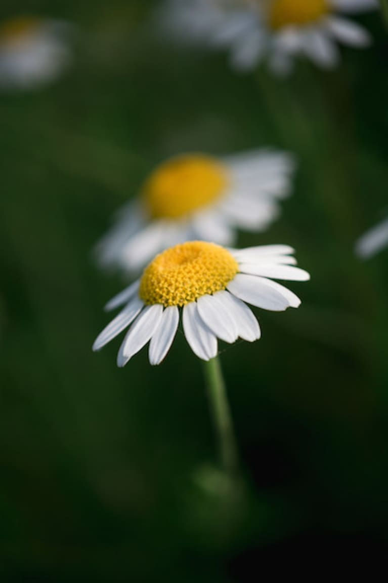 Camomile flower growing in a garden