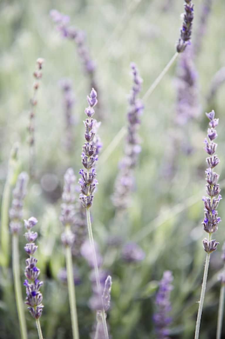 lavender growing in a garden