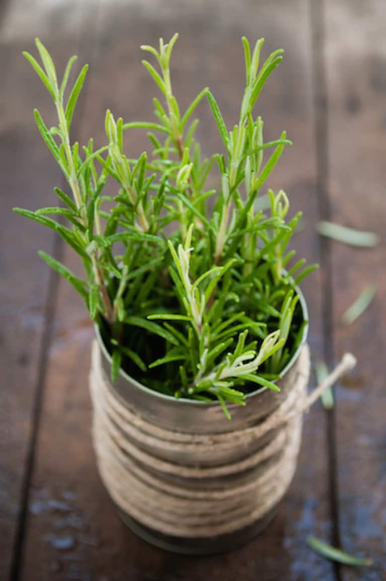 rosemary growing in a tin pot