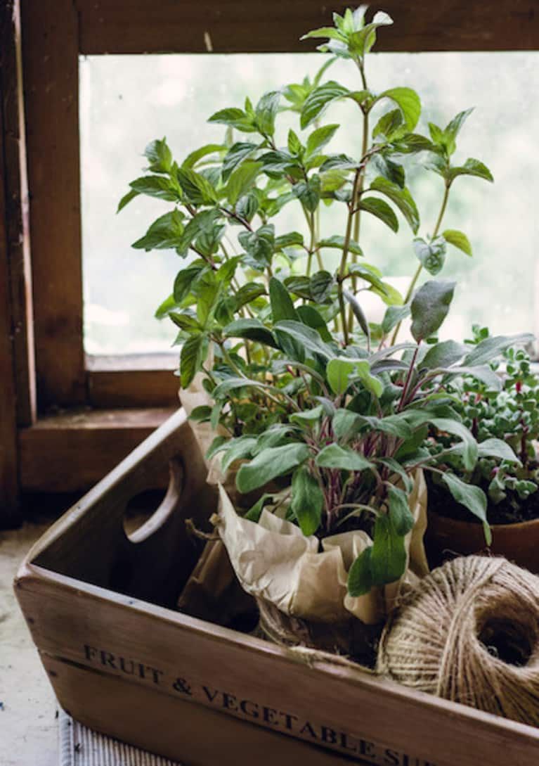 Sage herb growing in a window box