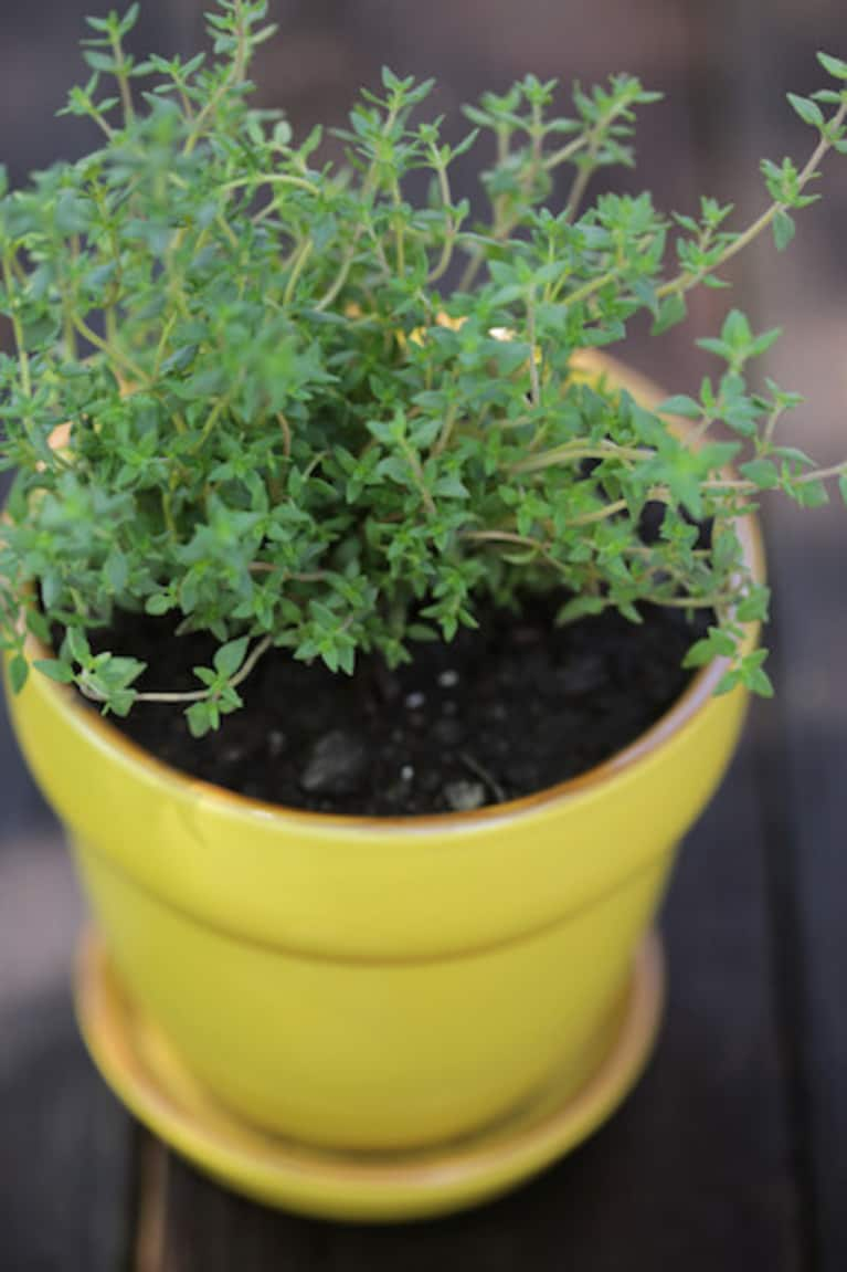 Thyme growing in a yellow pot