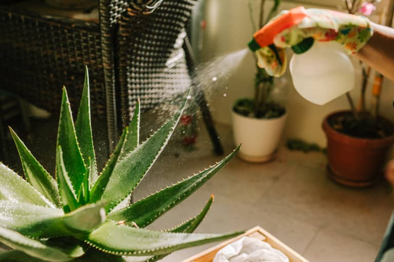 Aloe Vera Plant Care: Easy Tips To Grow + Harvest Your Aloe