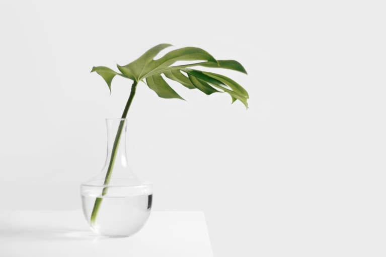 minimalist shot of single monstera leaf in glass vase over white background