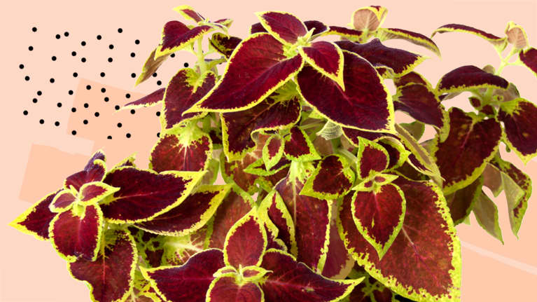 Forskolin: This Little-Known Herb Might Be The Key To Lasting Weight Loss & Cortisol Control