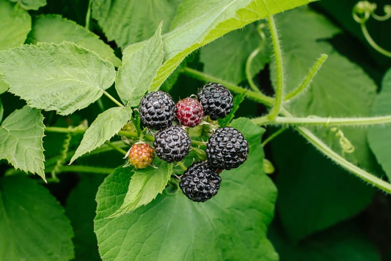 Black Raspberries Growing On The Vine