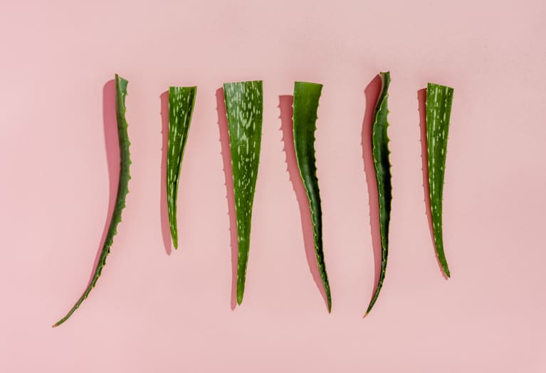 Fresh Aloe Vera Plants on a Pink Background