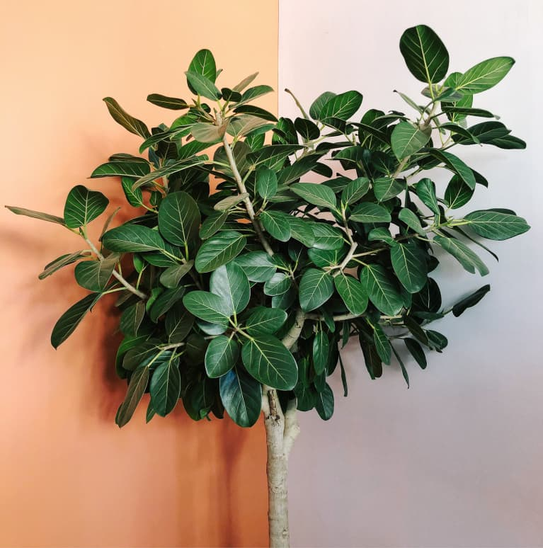 This Giant Houseplant Is Easier To Care For (And Less $$) Than The Fiddle Leaf