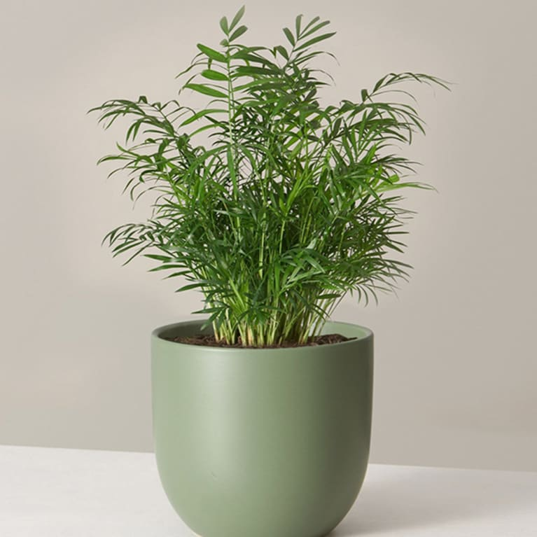 parlor palm in green container