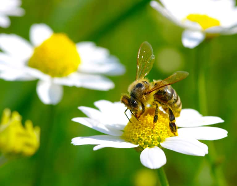 Are Big Macs Killing The Bees?