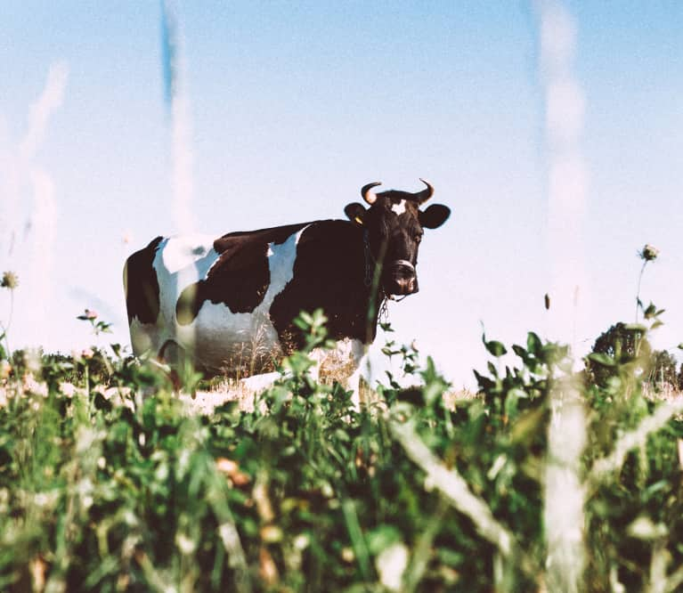 This Supplement For Cows Could Reduce Global Warming