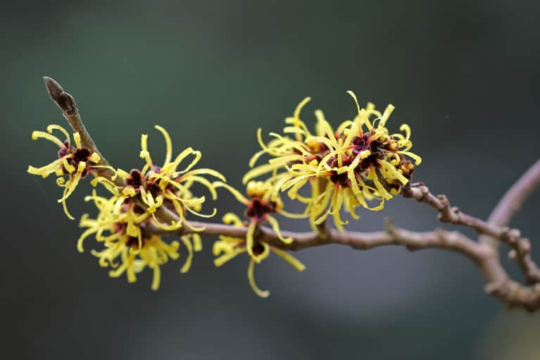 Witch Hazel: The Best (And Cheapest!) Remedy For Better Skin & Gut Health