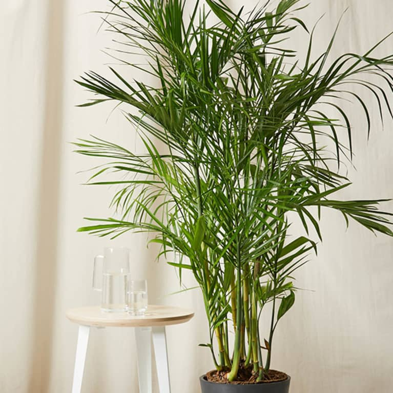 bamboo palm in front of light cloth with end table next to it