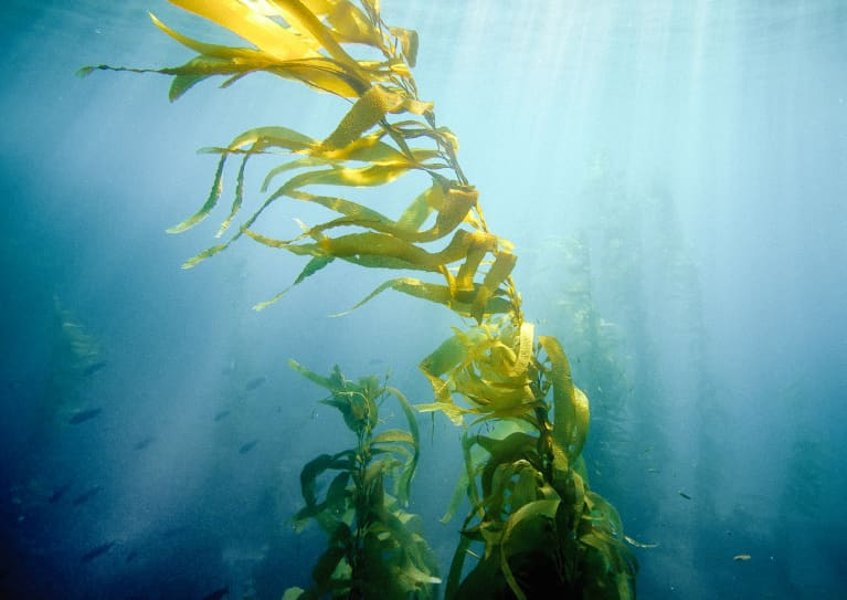 Time To Stock Up On Seaweed: New Study Finds Algae Can Help Leaky Gut