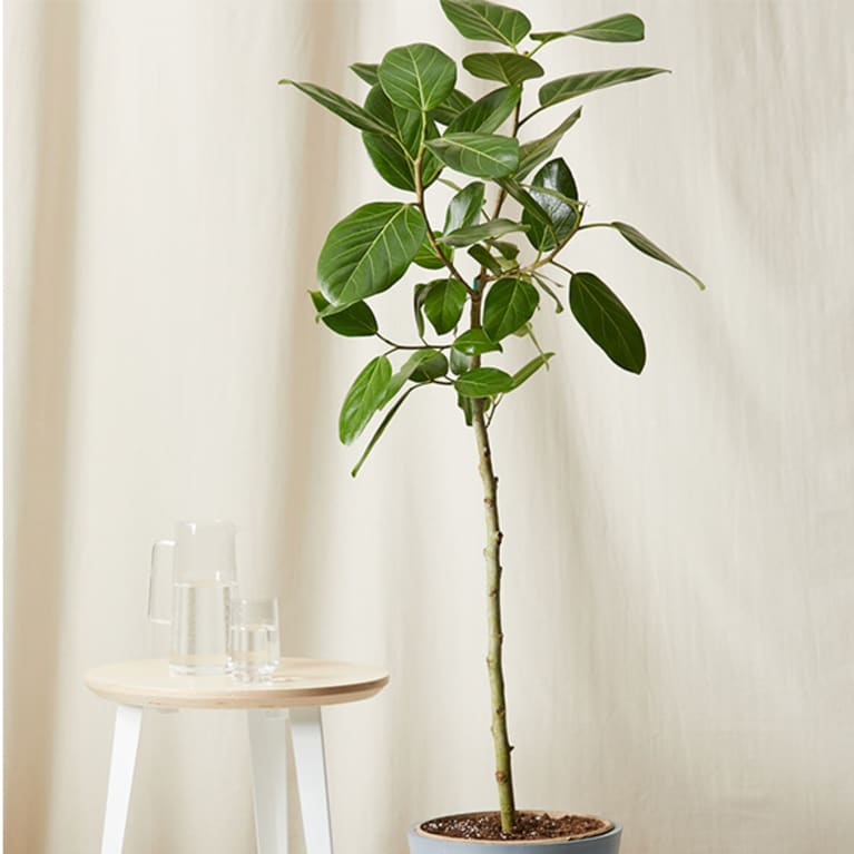 tall ficus audrey in front of light curtain next to small end table