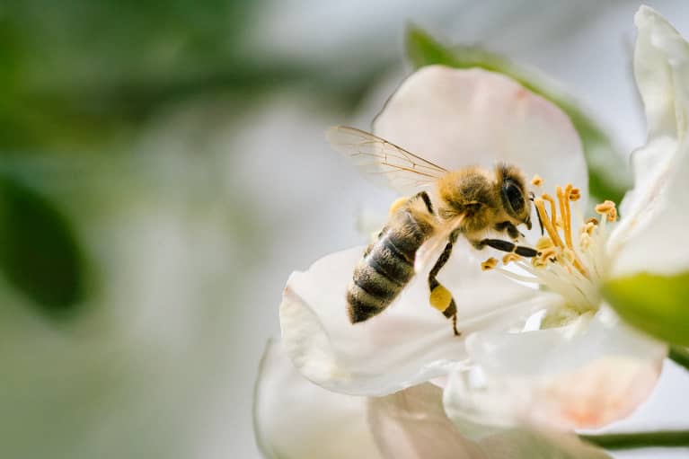 Honeybee on a Flower