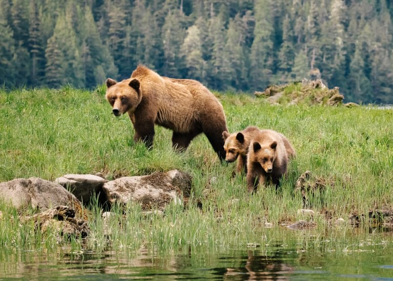 Mother Grizzly Bear and Her Two Cubs