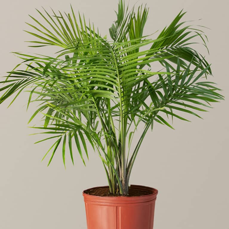 majesty palm in plastic container