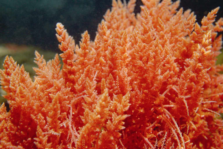 Health Benefits of Sea Moss