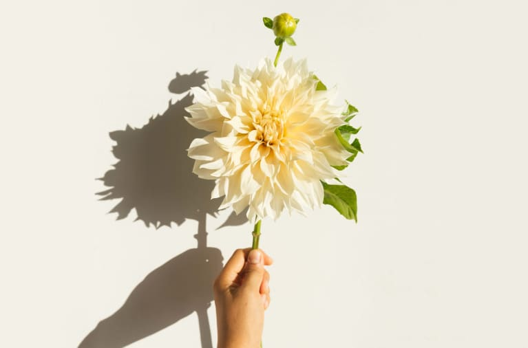 Hand Holding Single Stem Of Dahlias With Strong Light And Shadow
