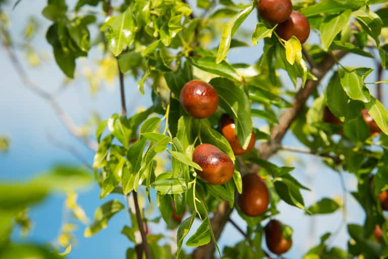 Jujube: The Sleep-Promoting, Anxiety-Easing Fruit