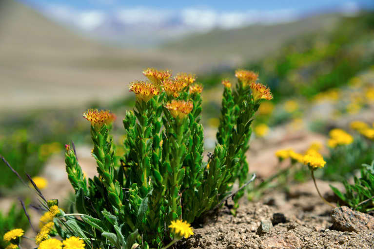 Rhodiola Rosea: Everything You Need To Know About The Stress-Fighting, Sleep-Boosting Adaptogen